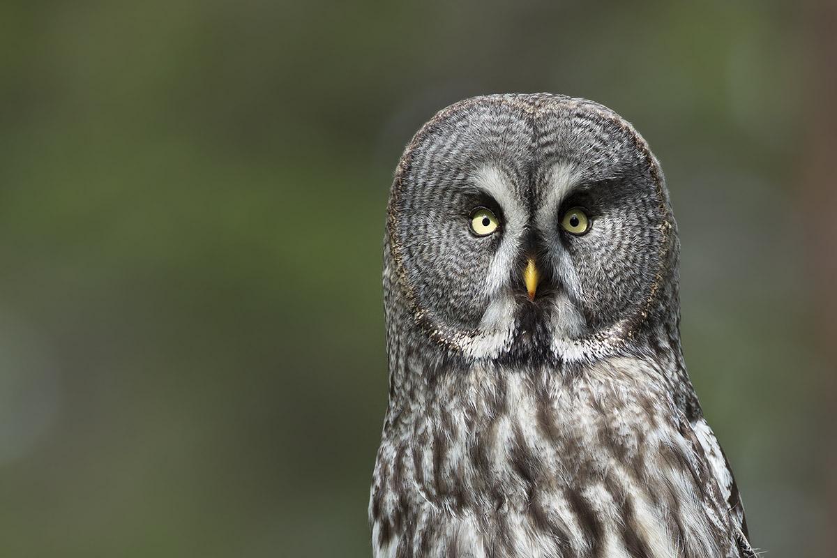 Lappuggla Cc Mg The Great Owl Portfolio